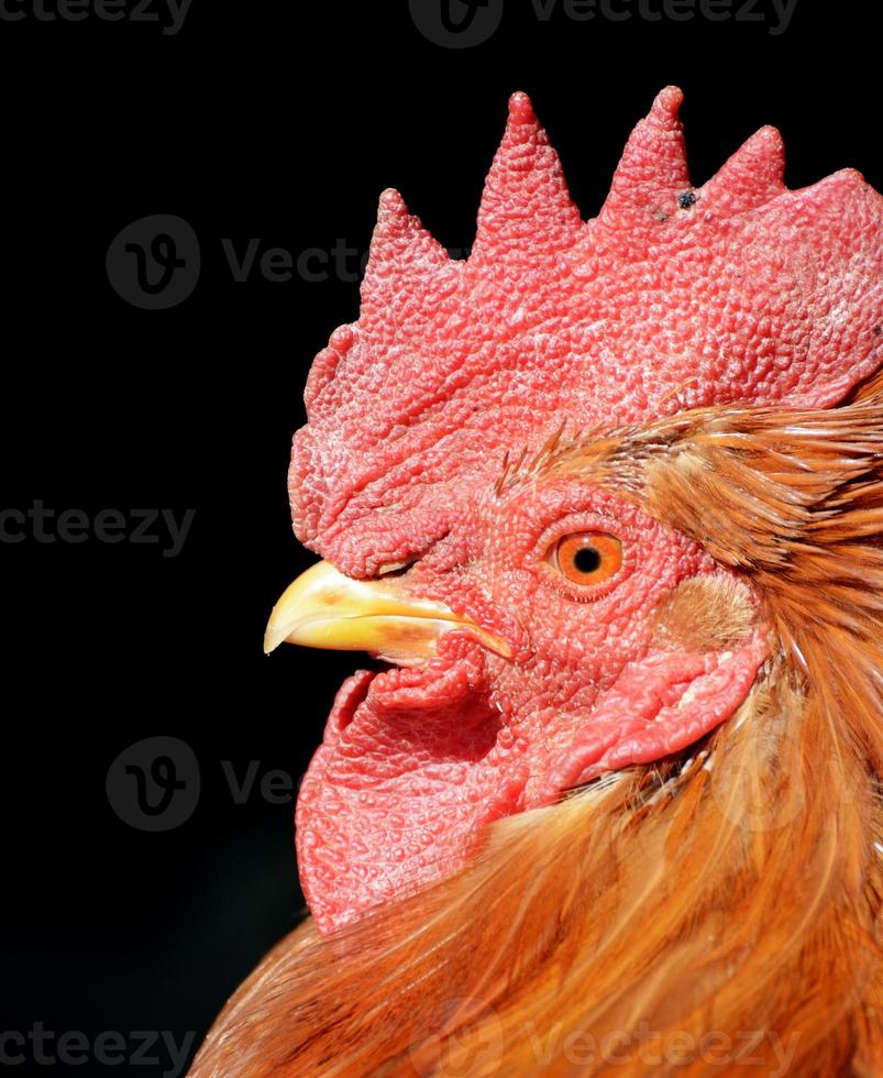 Cock photo