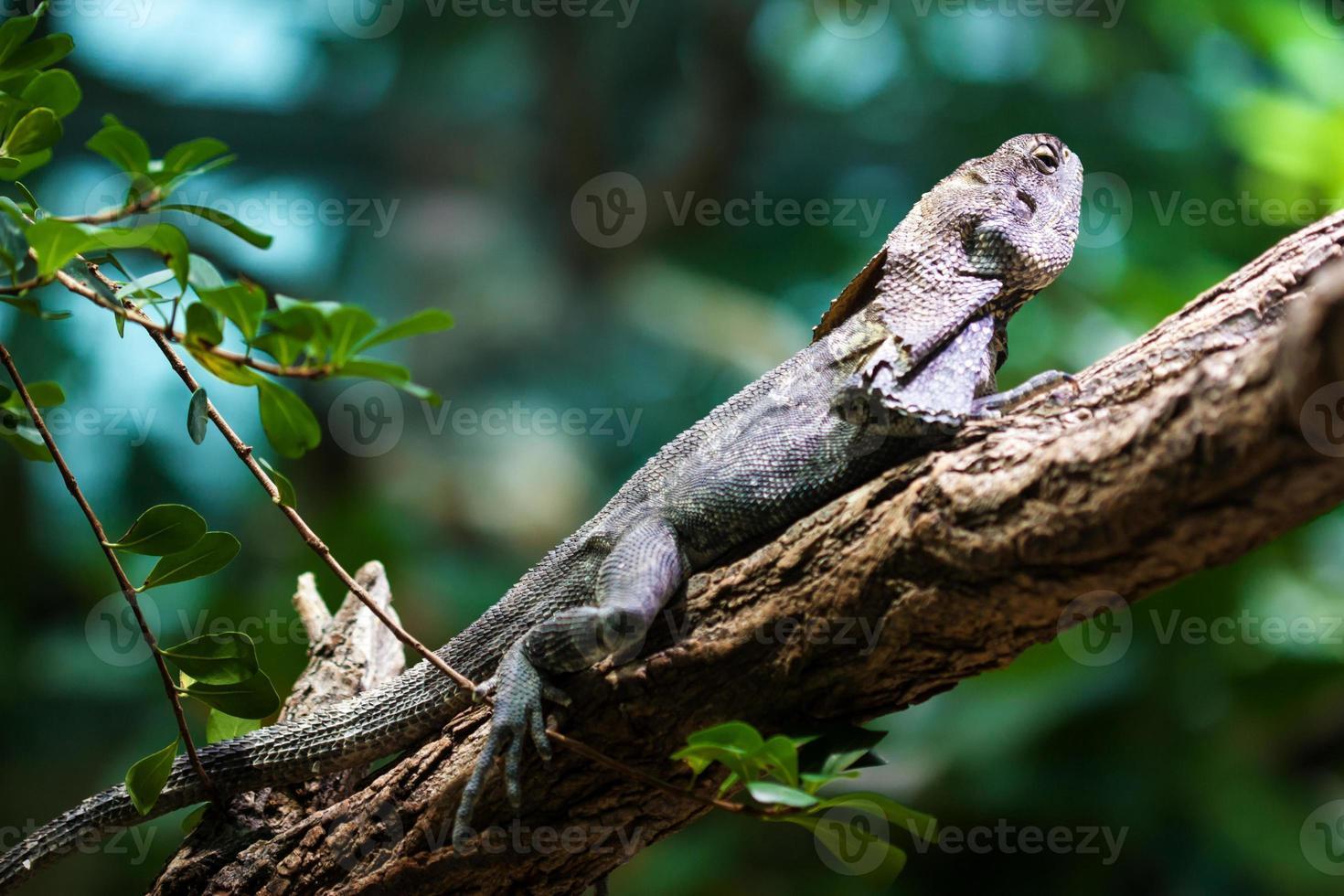 Frill-necked lizard (Chlamydosaurus kingii) photo