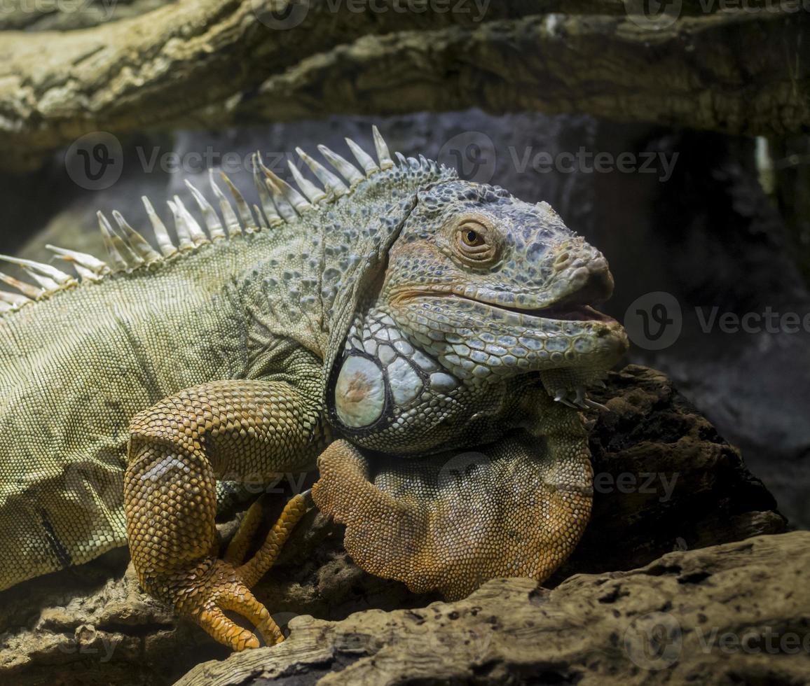Retrato de iguana cabeza y pierna foto