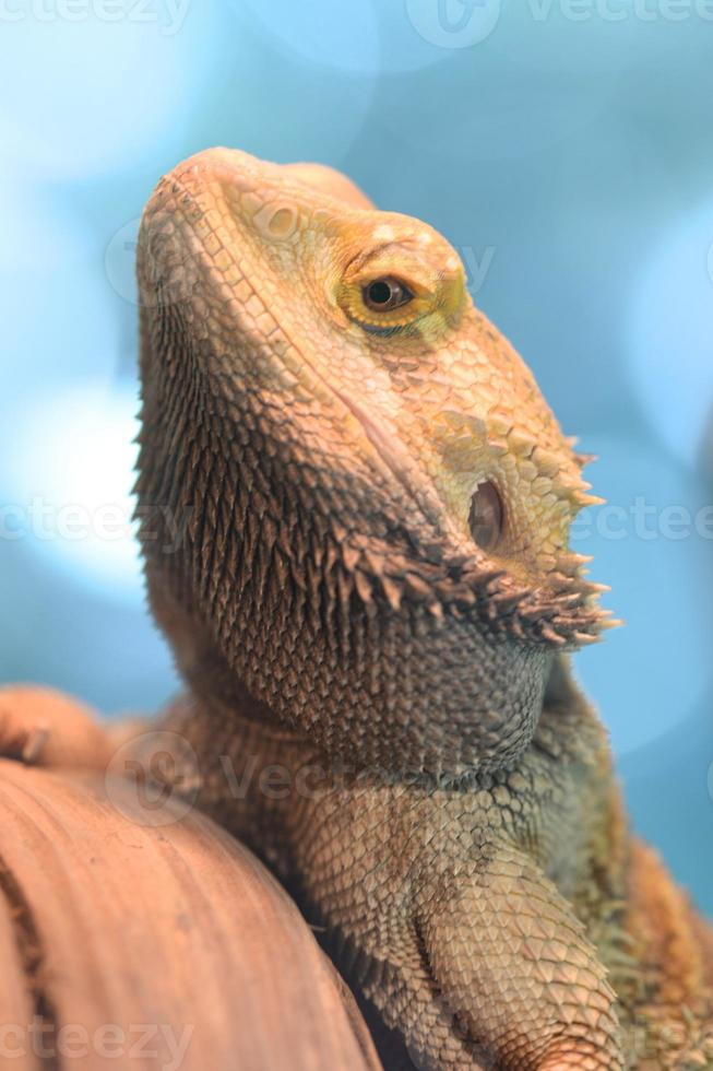 lagarto dragón barbudo foto