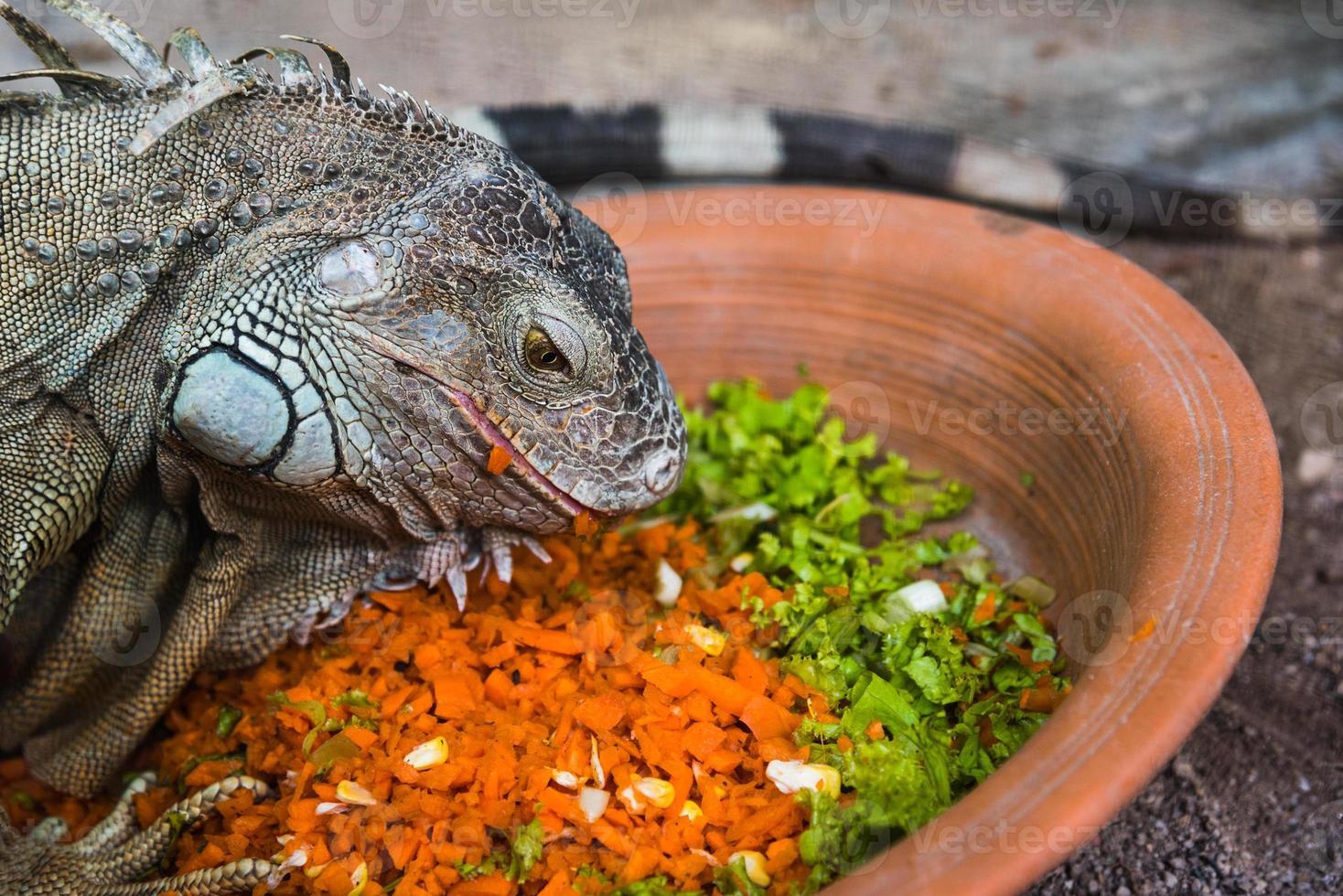 iguana comiendo foto