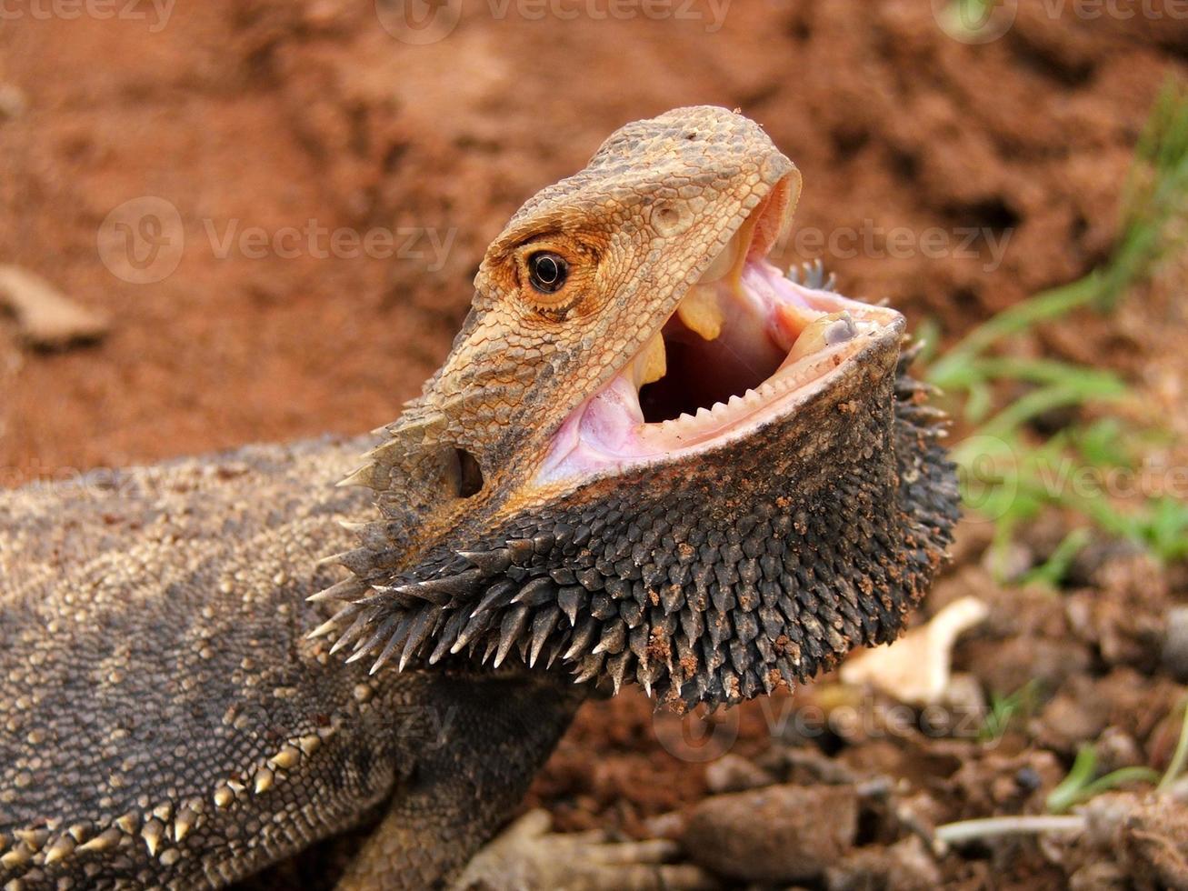 Dragón barbudo enojado (pogona vitticeps) con la boca abierta interior australia foto