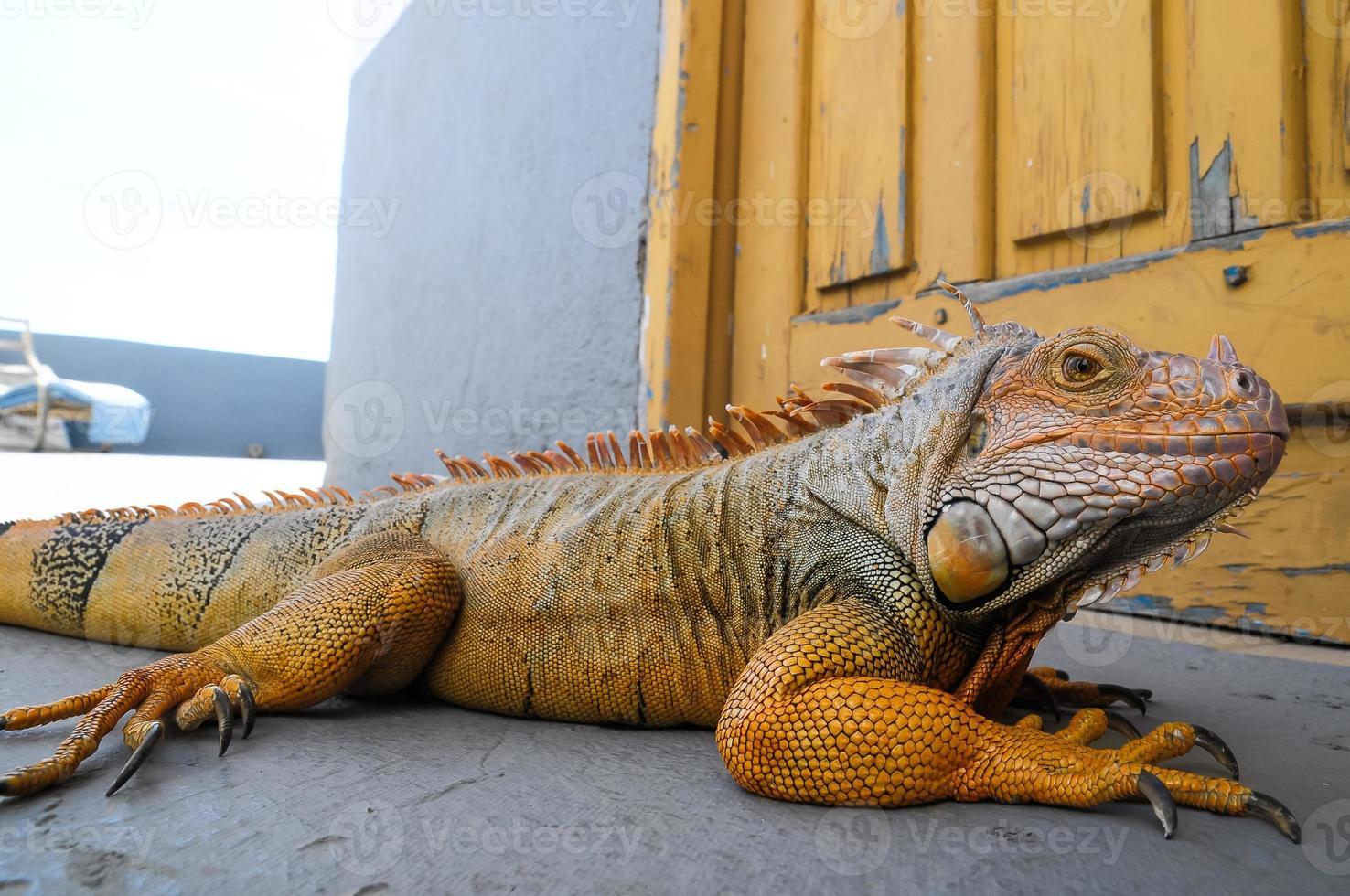 Iguana macho joven de color foto