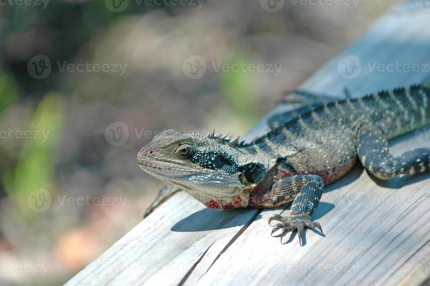 Lagarto de dragón de agua oriental aislado, Australia foto