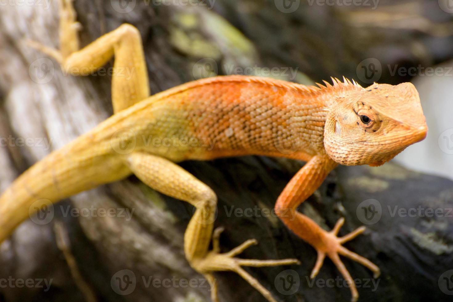 Brown thai lizard on the tree photo