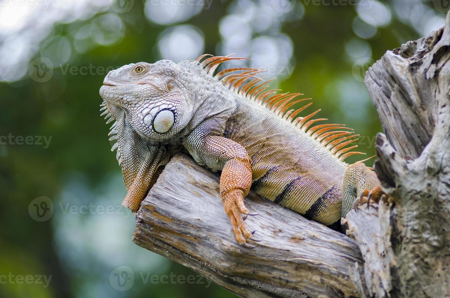 Iguana photo