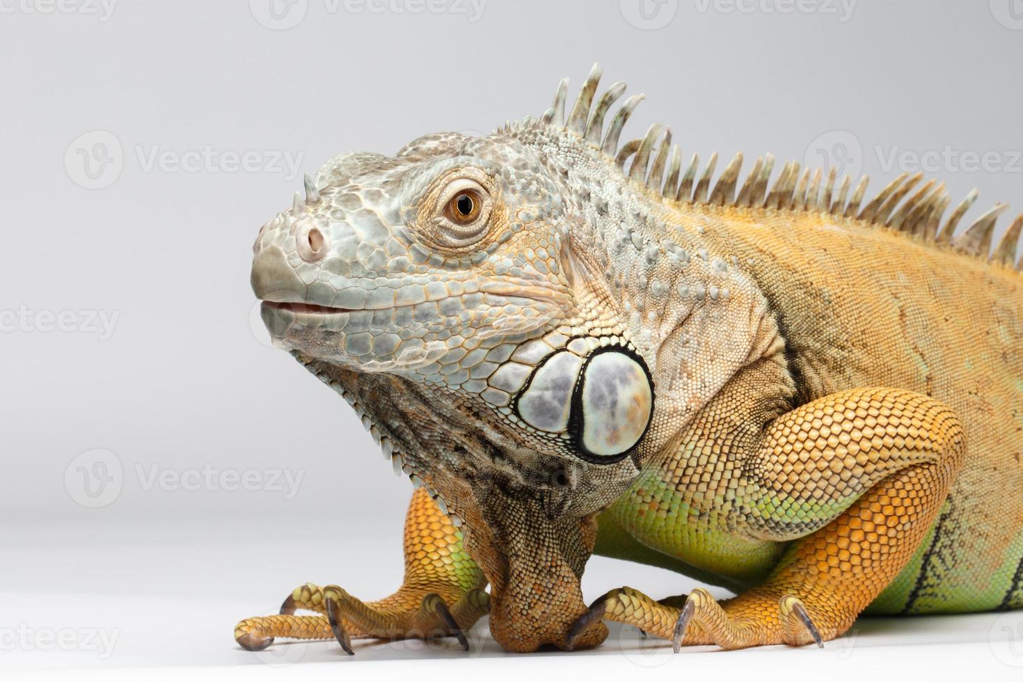 Closeup iguana verde sobre fondo blanco. foto