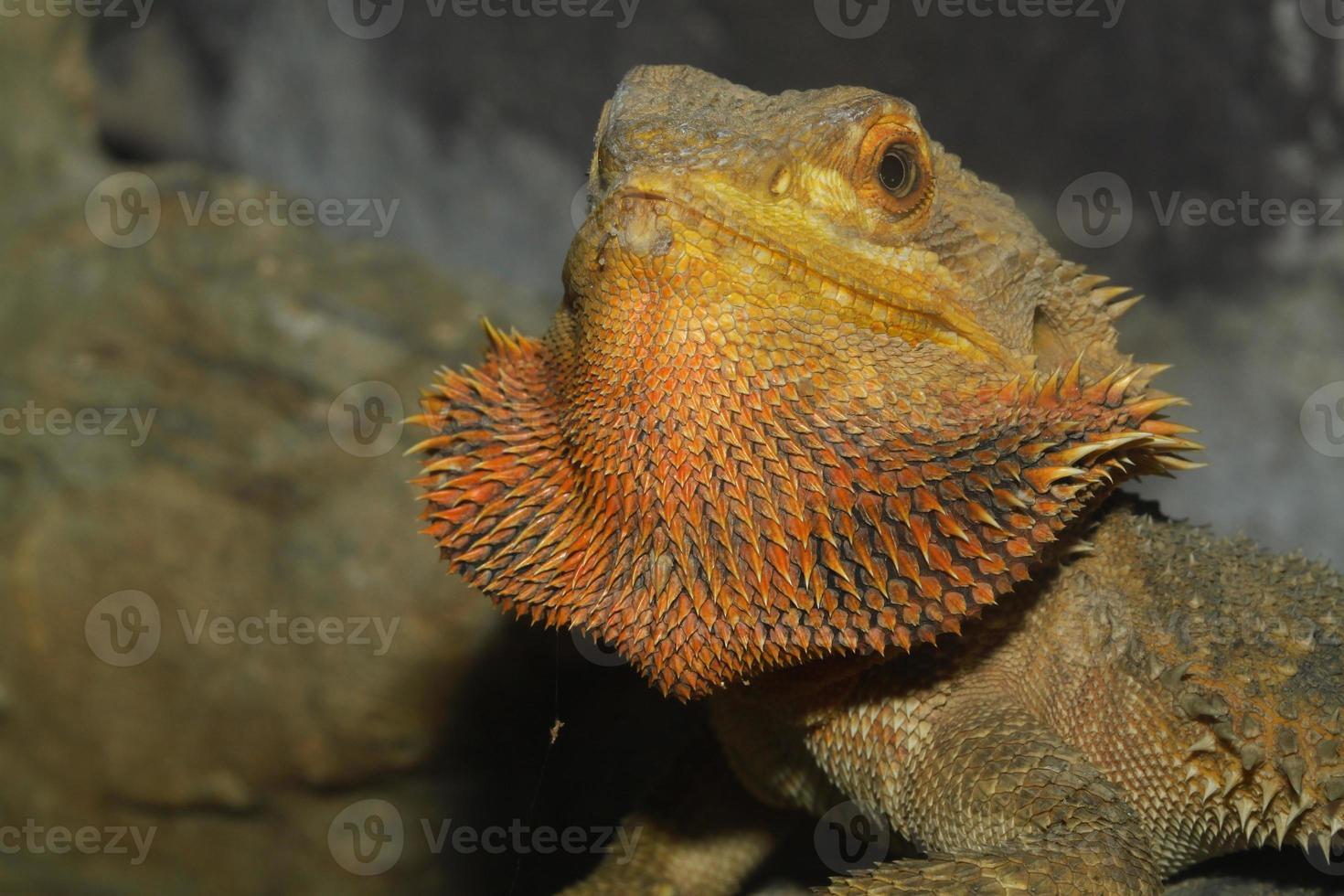 cerrar la cabeza dragones barbudos lagarto foto