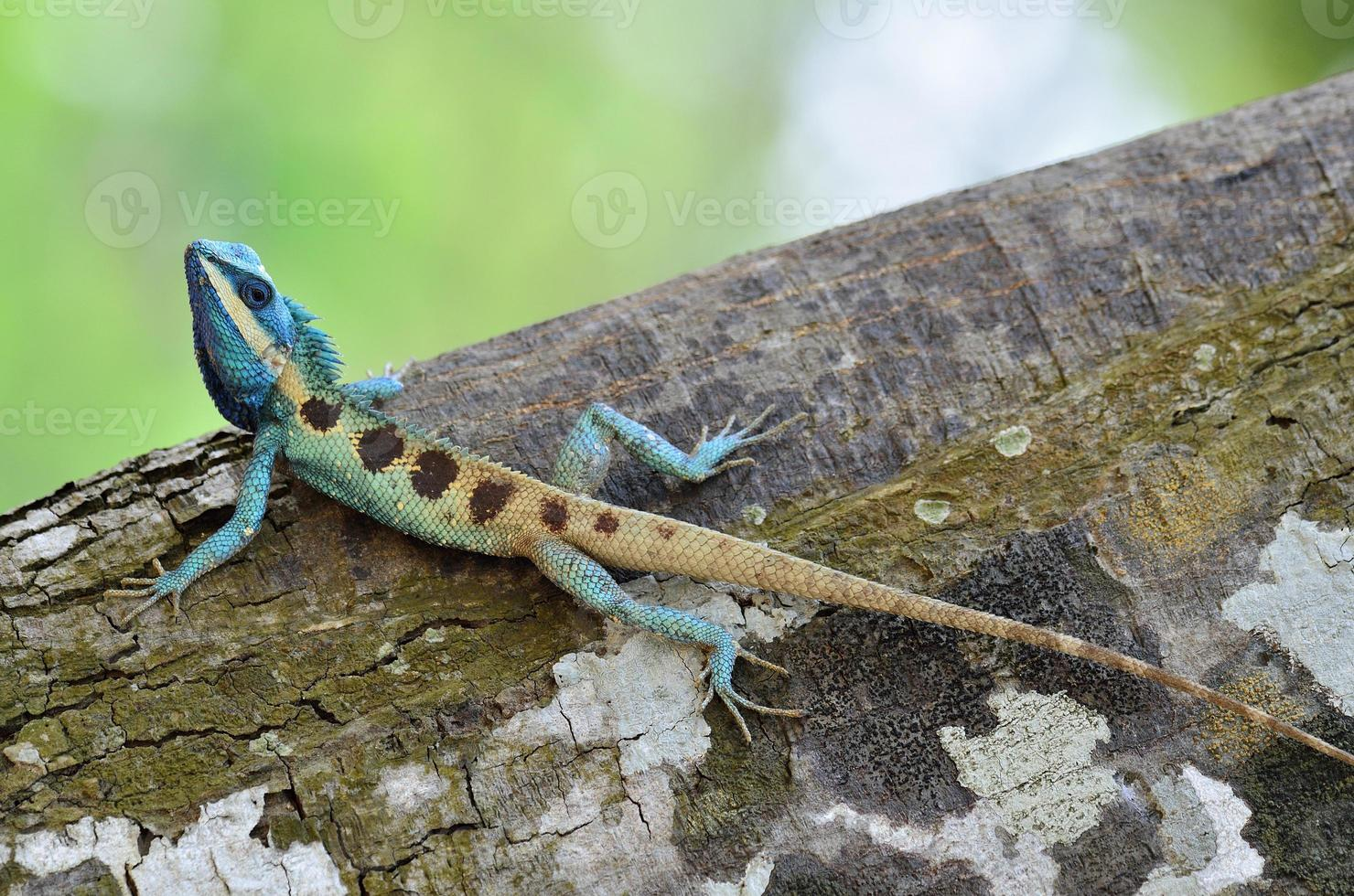 cuerpo completo de lagarto azul en árbol foto
