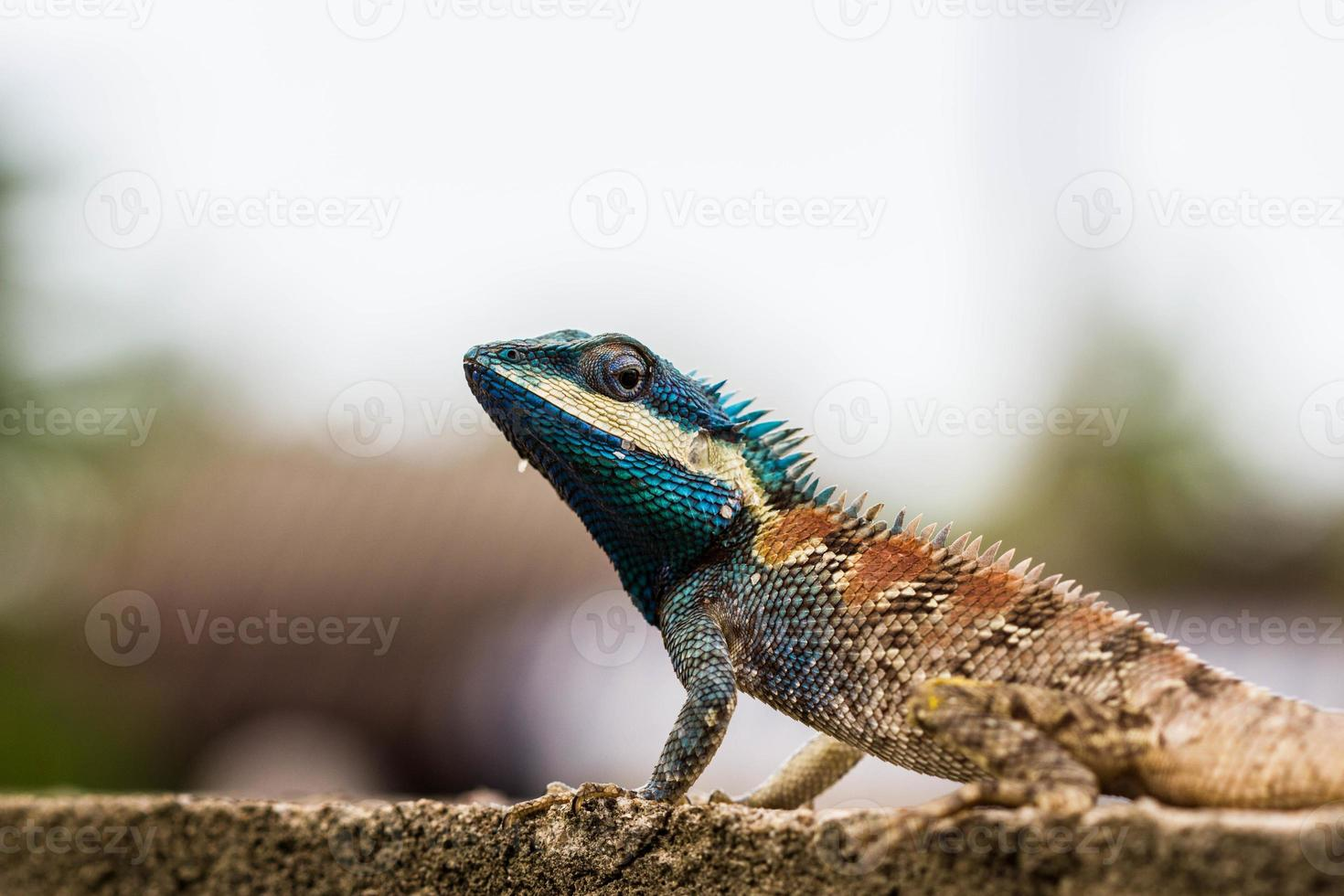lindo lagarto azul foto