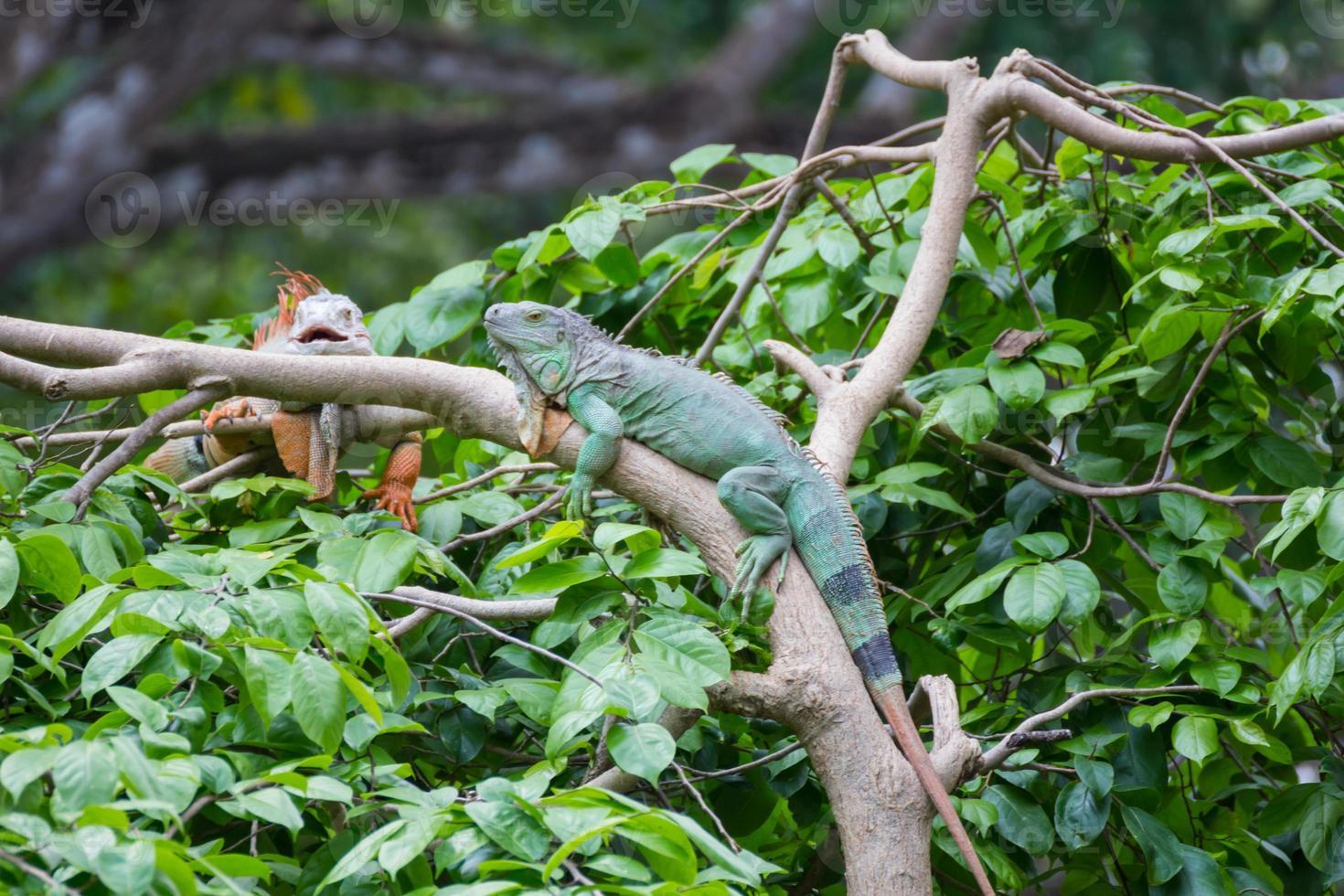 iguana en árbol foto