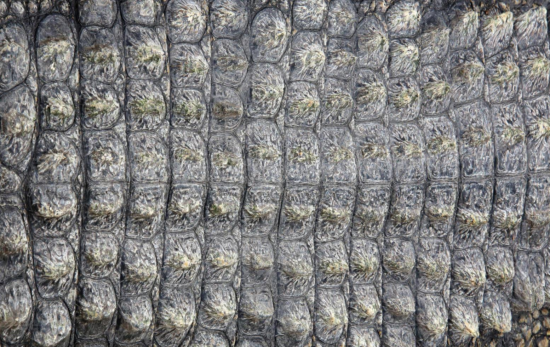 Crocodile skin as background photo