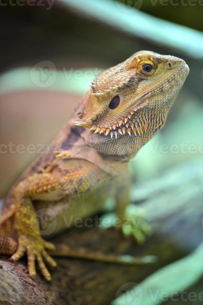 dragón barbudo - pogona vitticeps foto