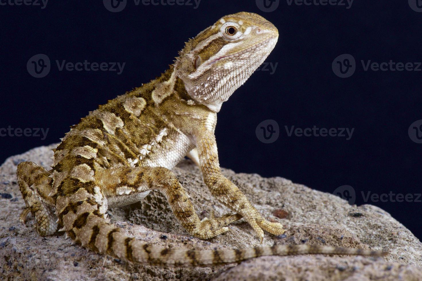 dragón barbudo enano (pogonoa henrylawsoni) foto