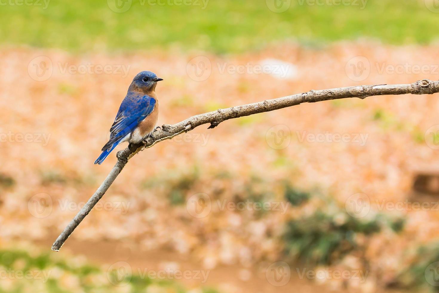 Eastern Bluebird photo