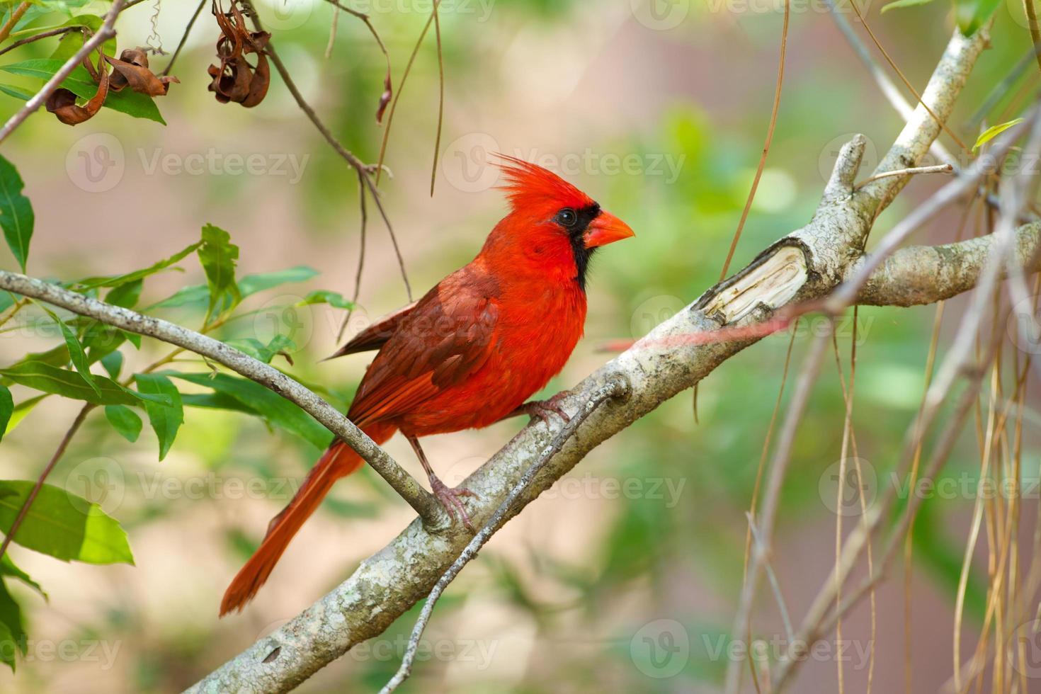 cardenal masculino en rama, florida foto