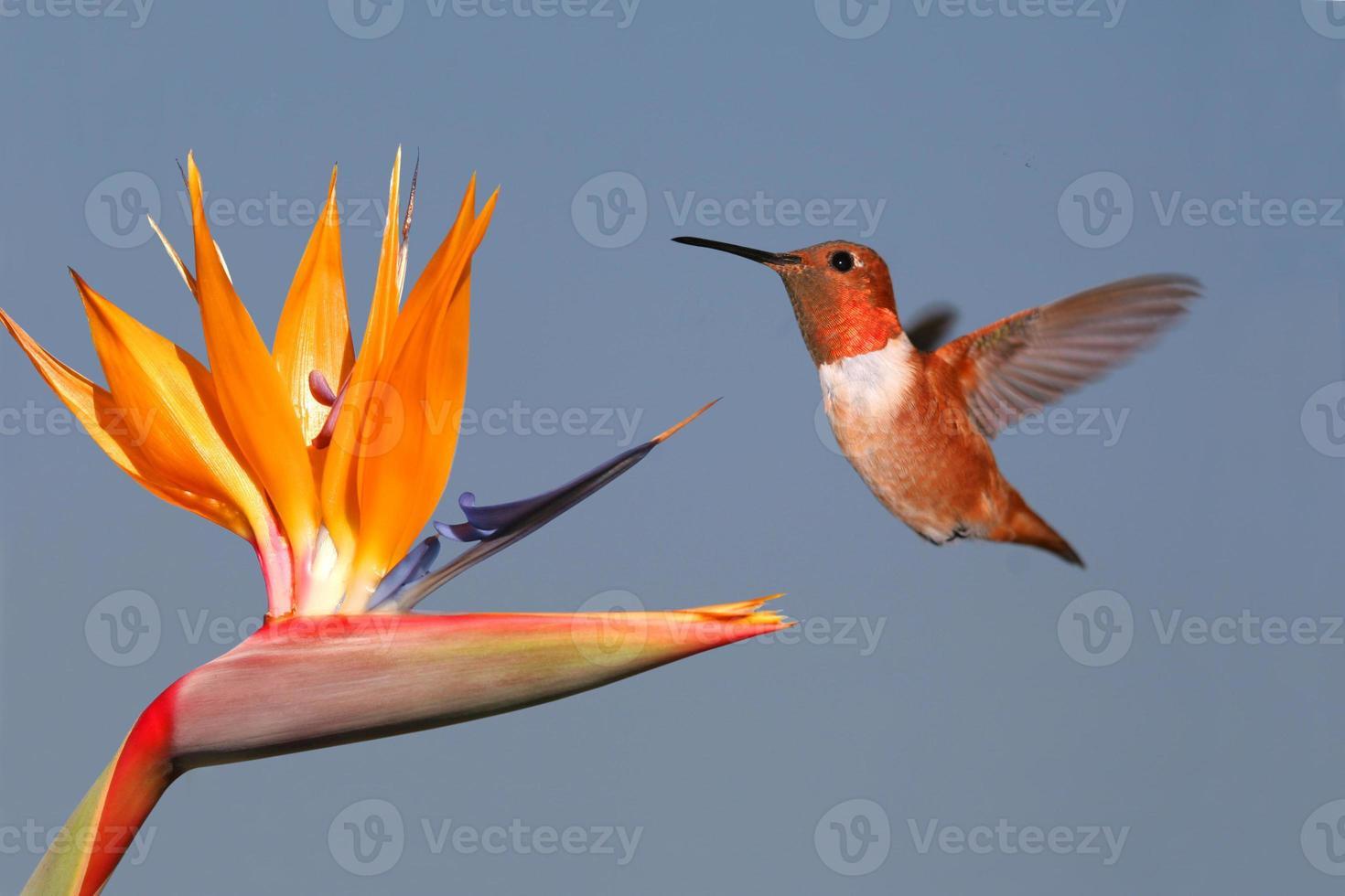 colibrí y ave del paraíso foto