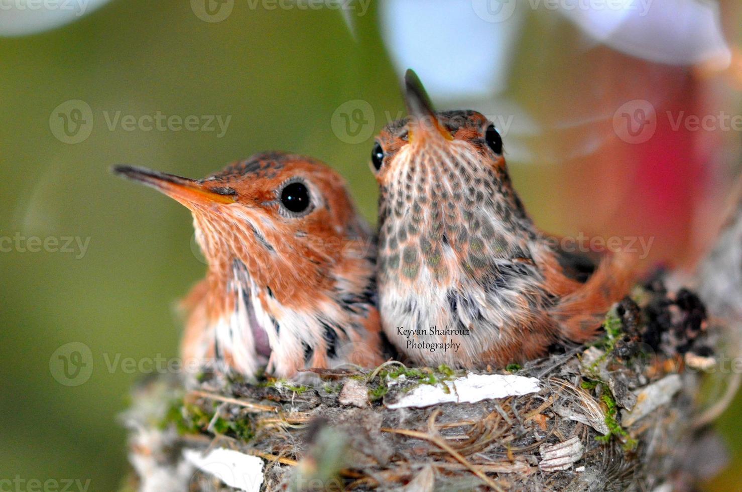 colibríes recién nacidos foto