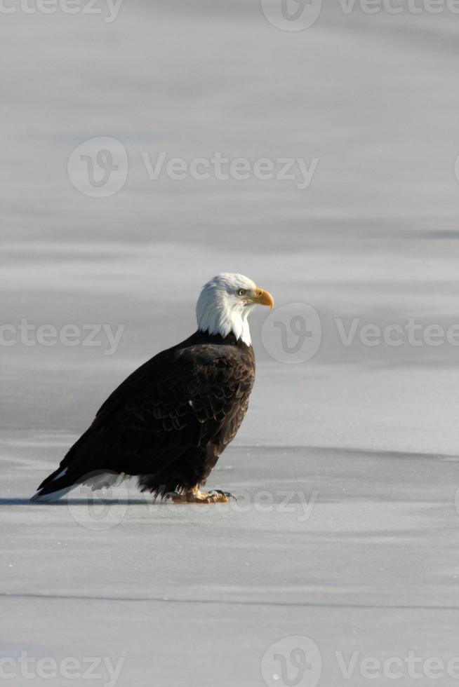 águila calva haliaeetus leucocephalus utah ave de rapiña foto