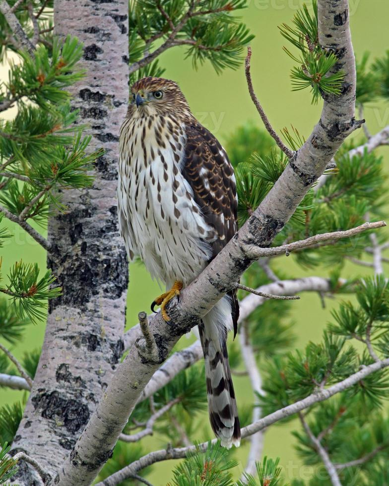 formato vertical vertical de halcón juvenil foto