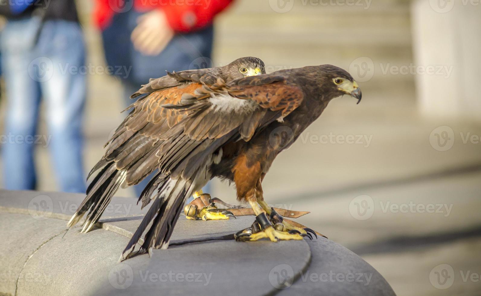 Harris Hawks photo