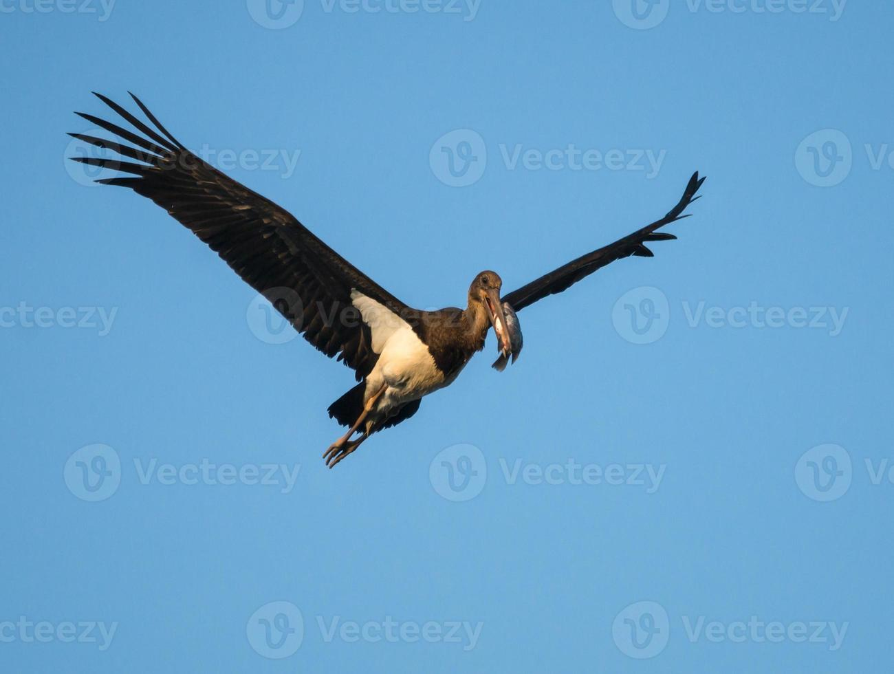 Black Stork in Flight with Fish photo