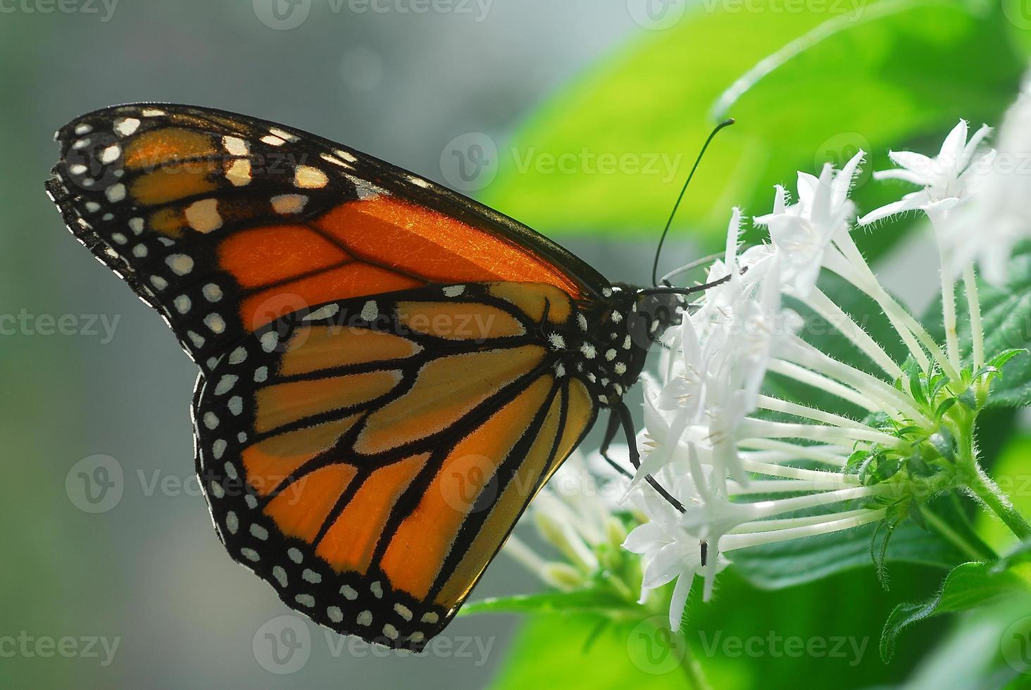 negro naranja monarca tigre mariposa insecto foto