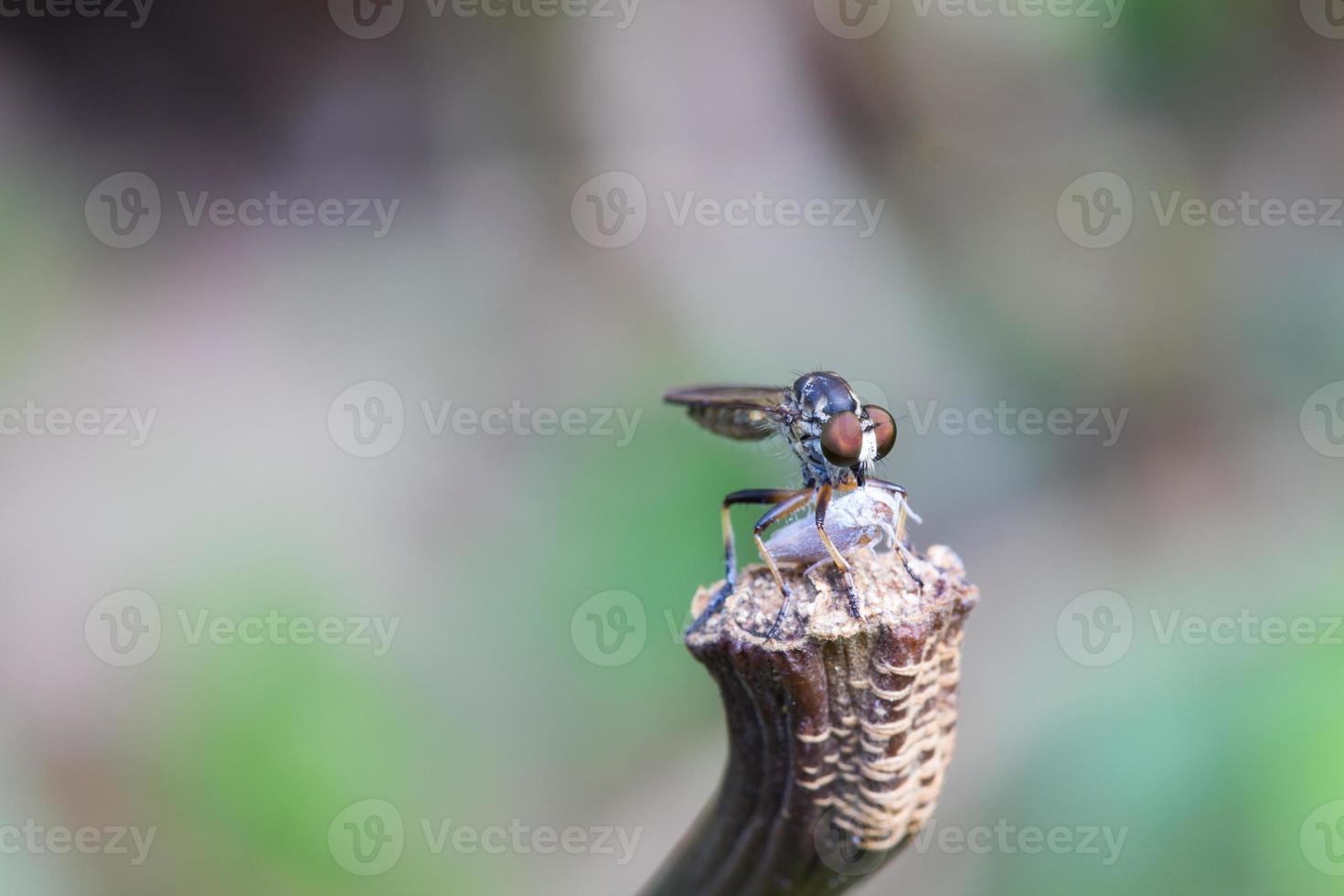 insecto comiendo otro insecto foto