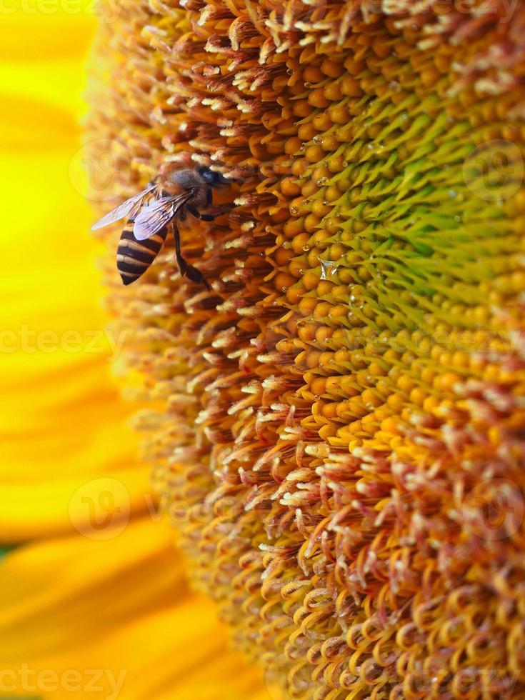 cerrar abeja en un girasol foto