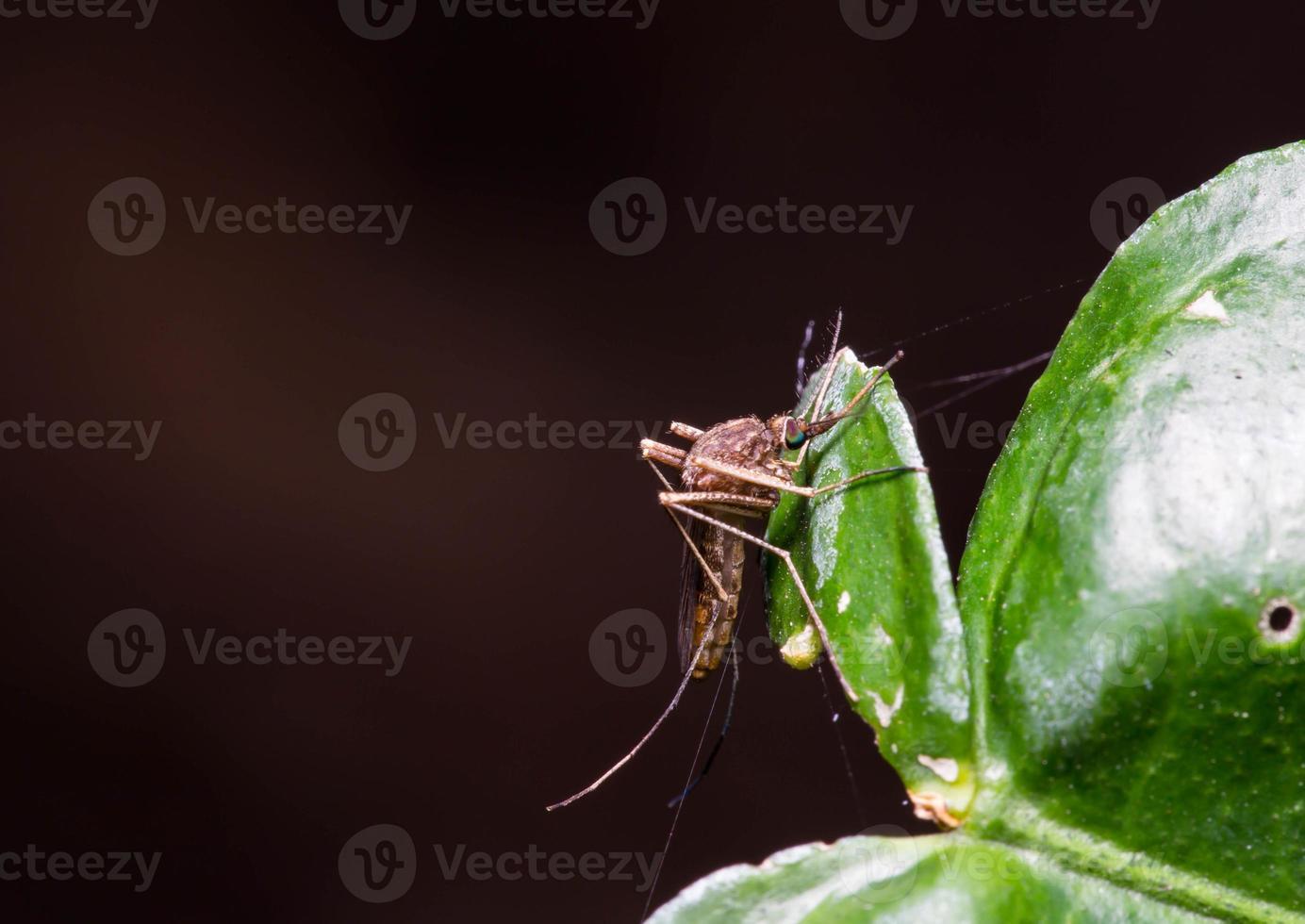 mosquito foto