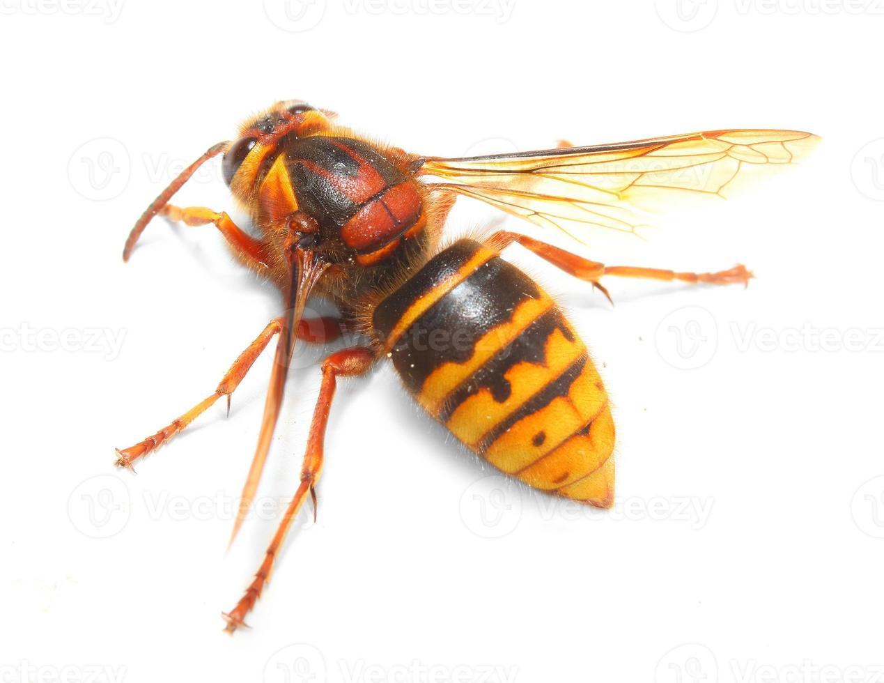 el avispón europeo (vespa crabro). foto