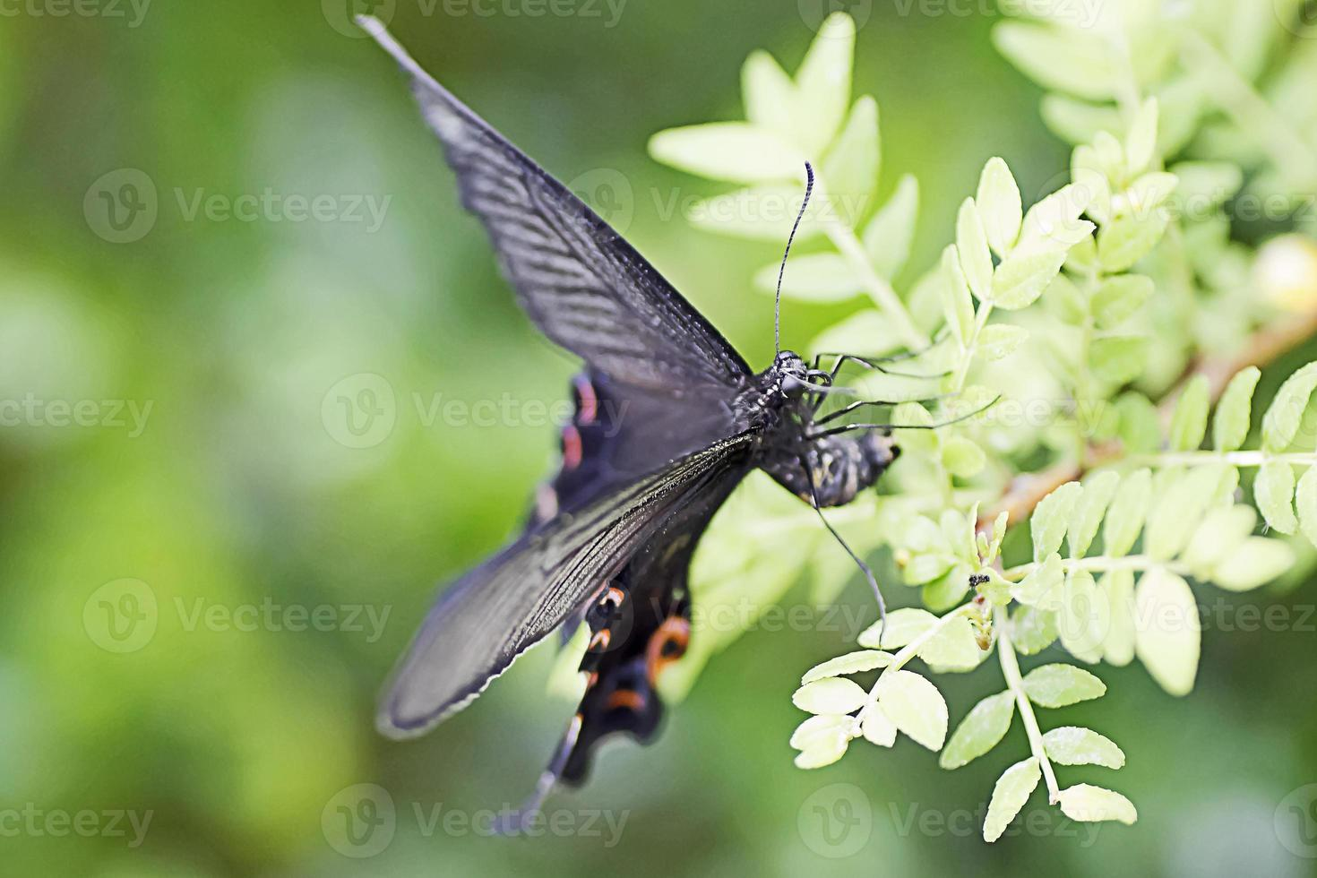 Papilio Bianor(Japanese Swallowtail Butterfly). photo