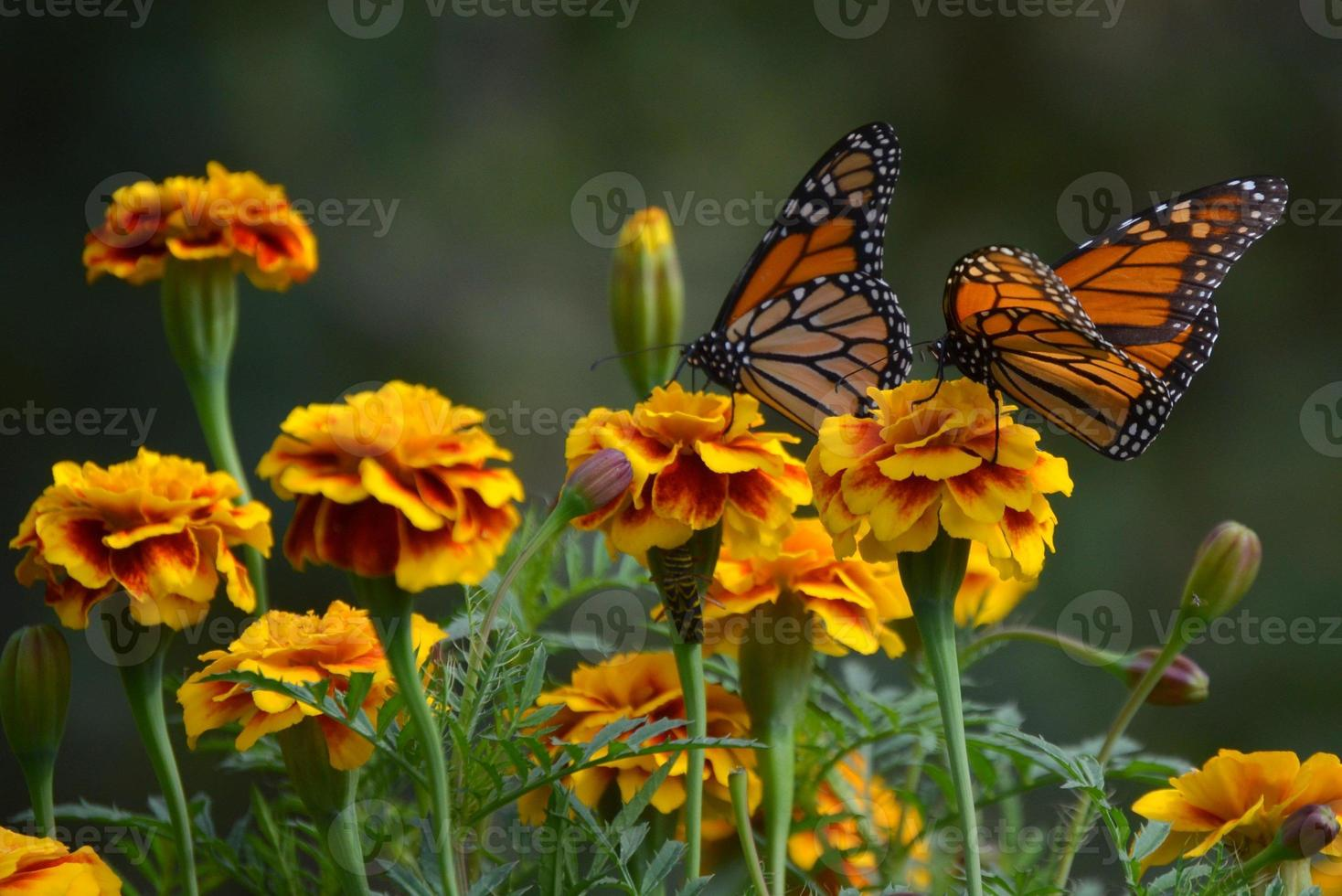 Monarch butterfly and orange marigolds photo