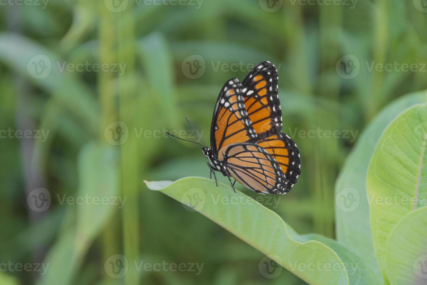 mariposa monarca en algodoncillo foto