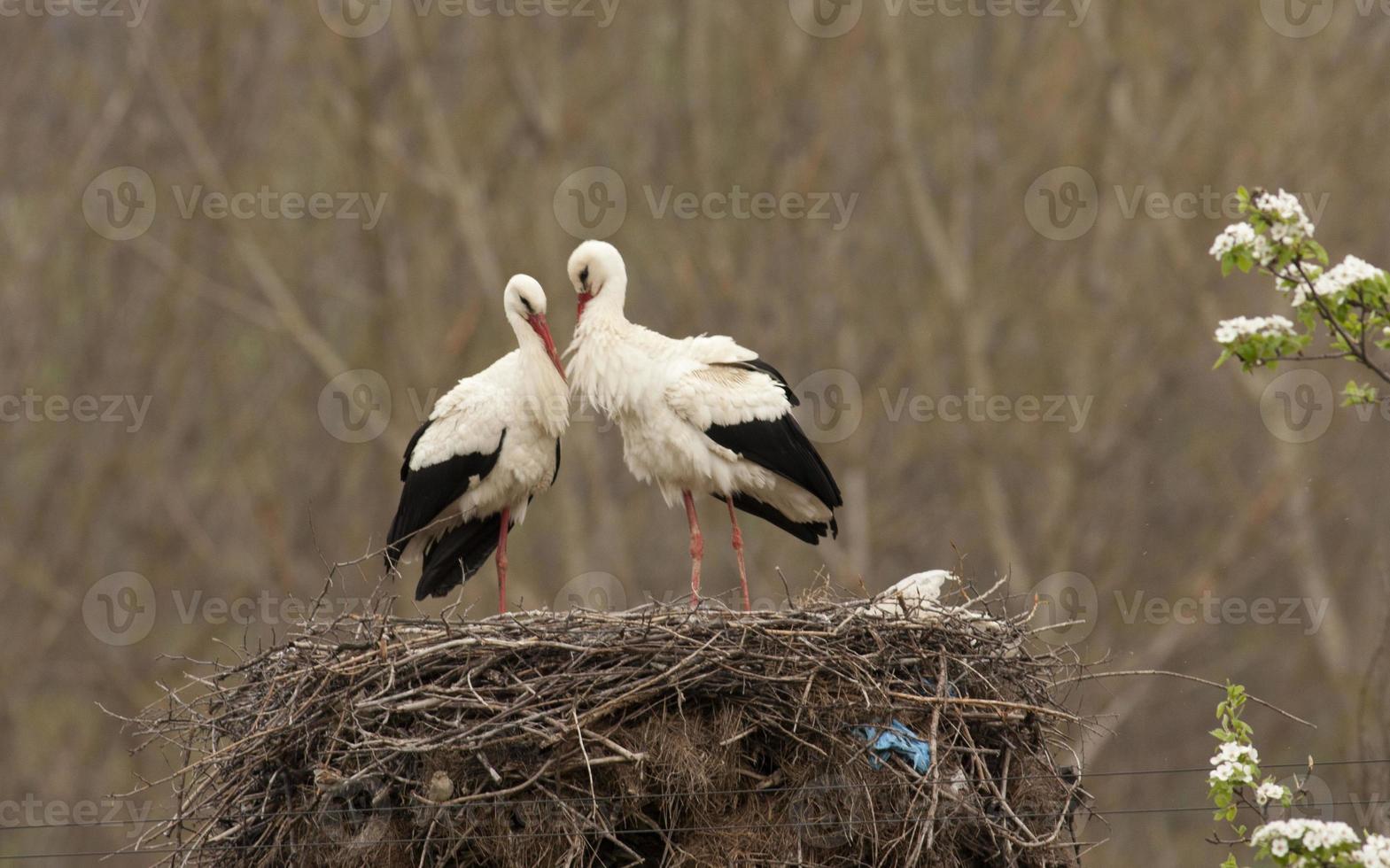 Pair White Storks in nest photo