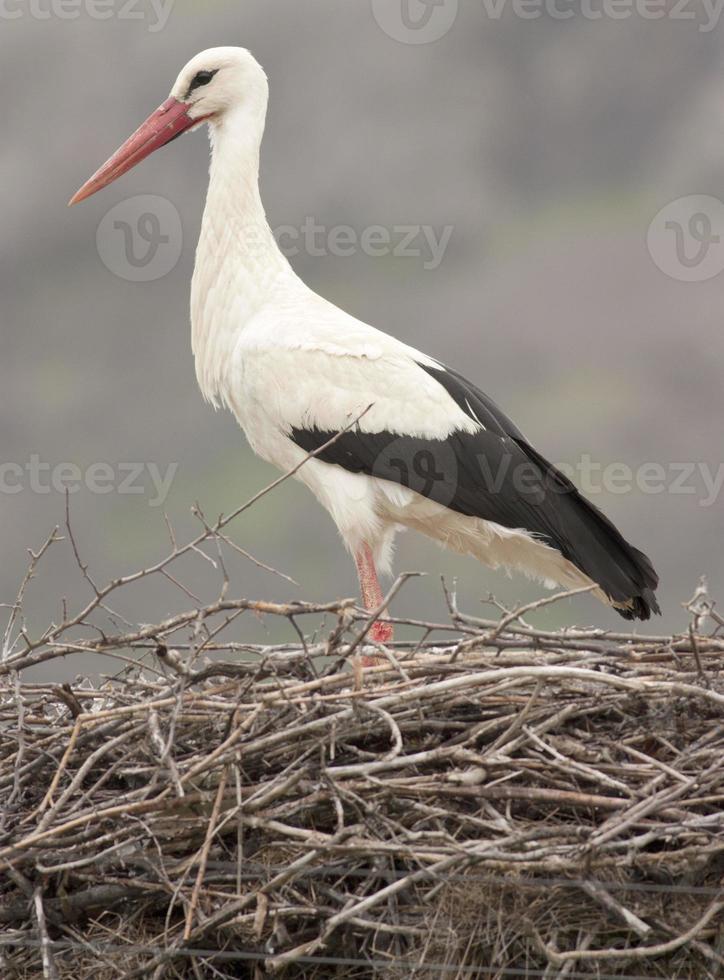 White stork in nest photo