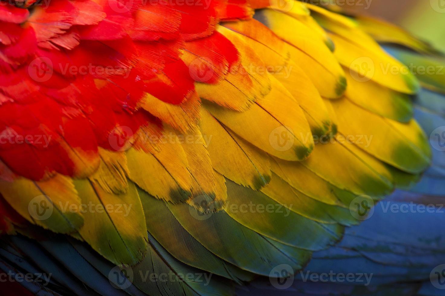plumas de colores de una guacamaya roja foto