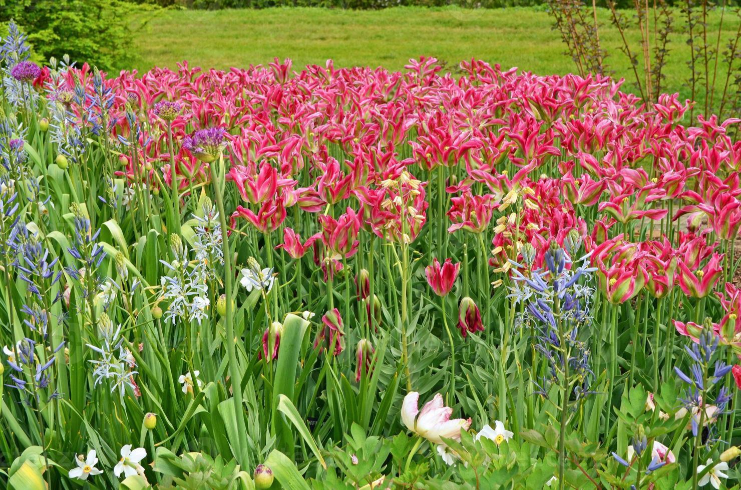 tulipanes loro foto