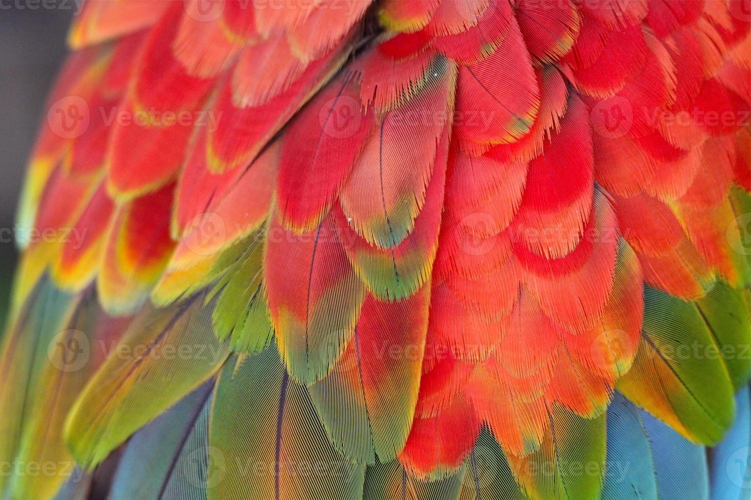plumas de guacamayo foto