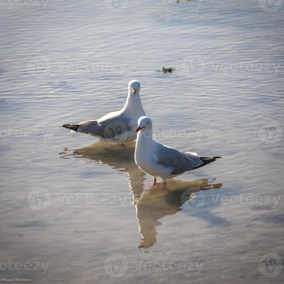 gaviota de las islas whitunday foto