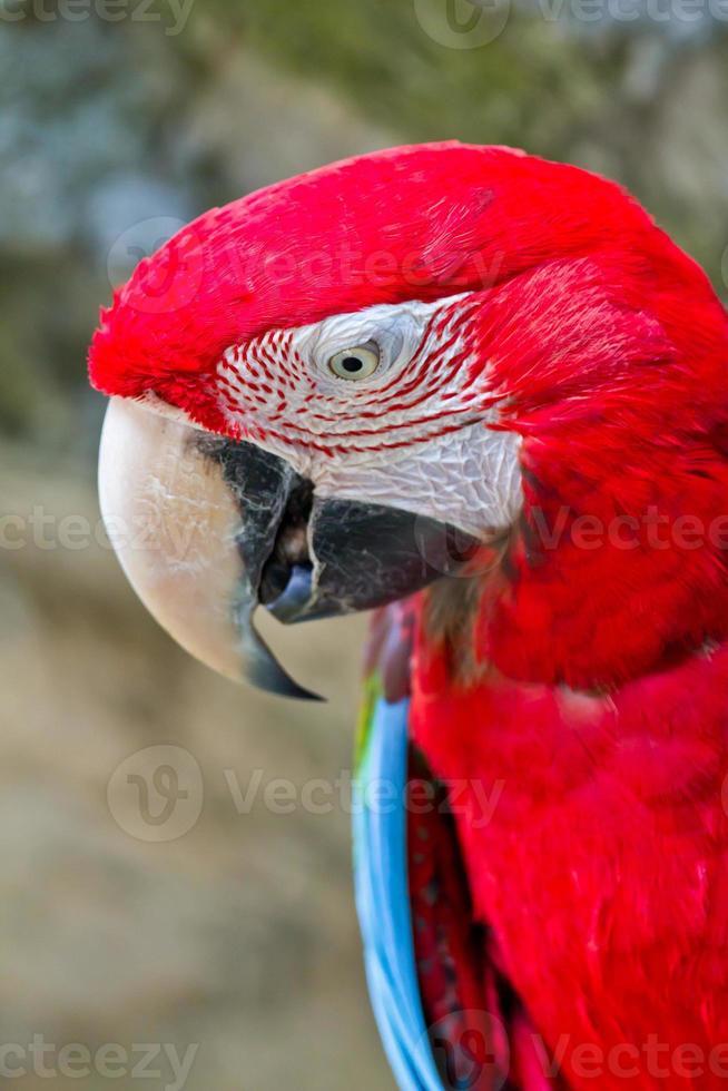 guacamayo rojo foto