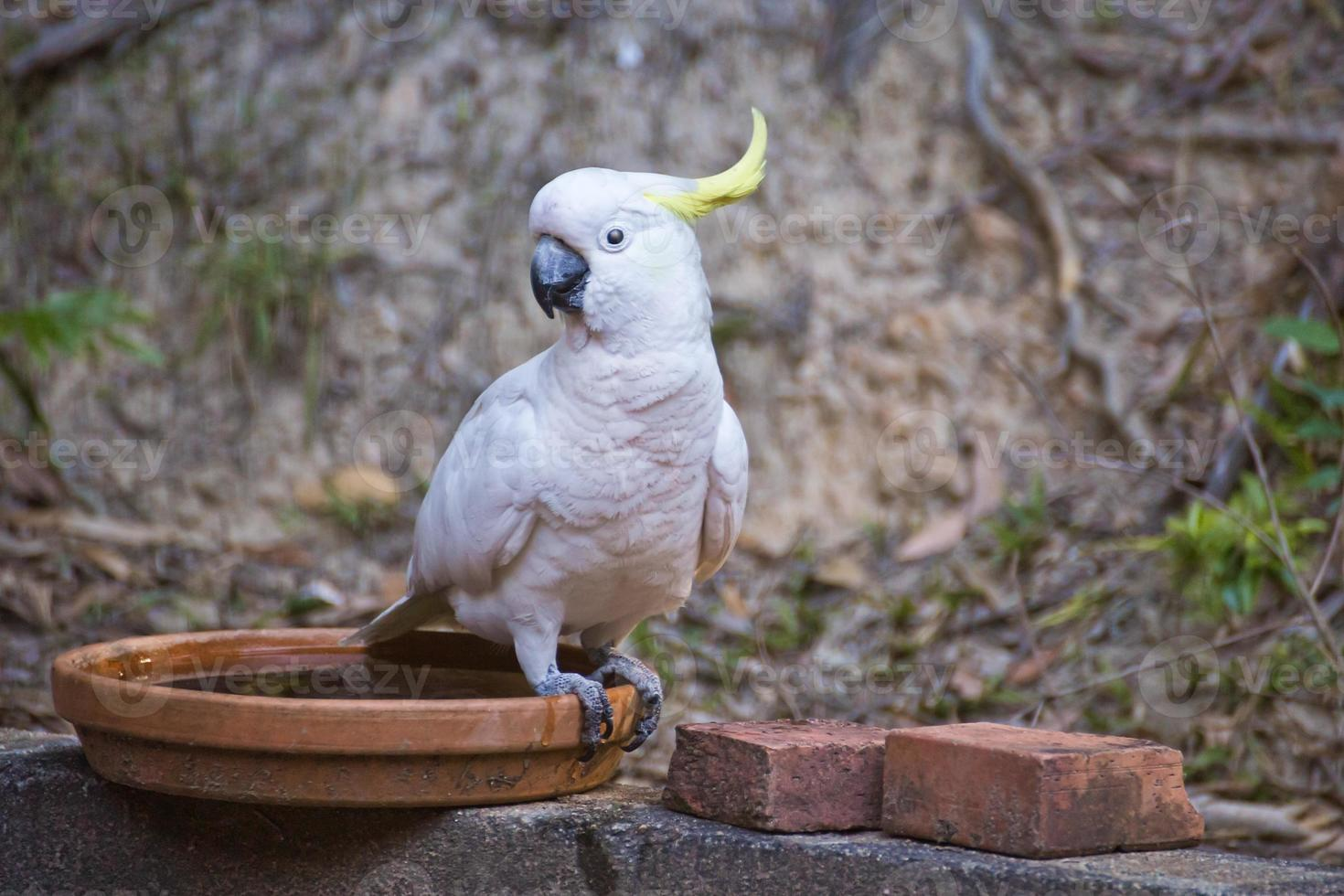 Sulphur Crested Cockatoo photo