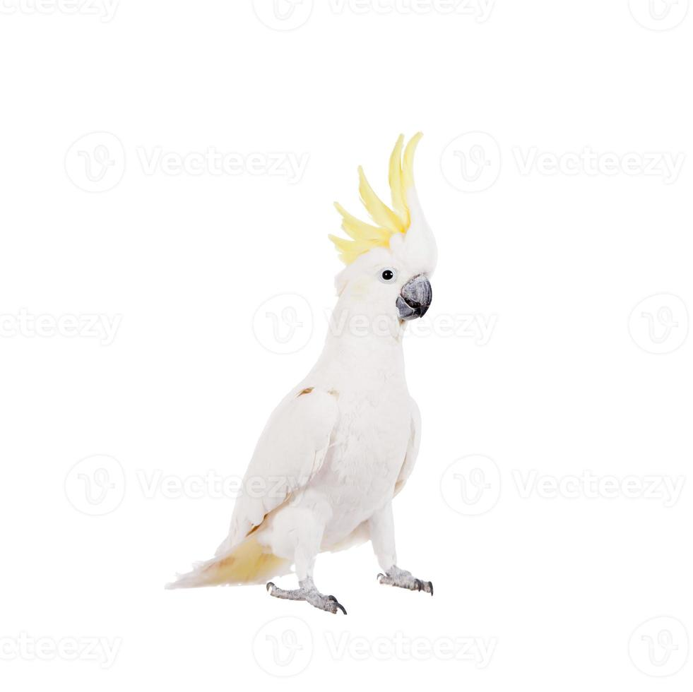 Sulphur-crested Cockatoo, isolated on white photo