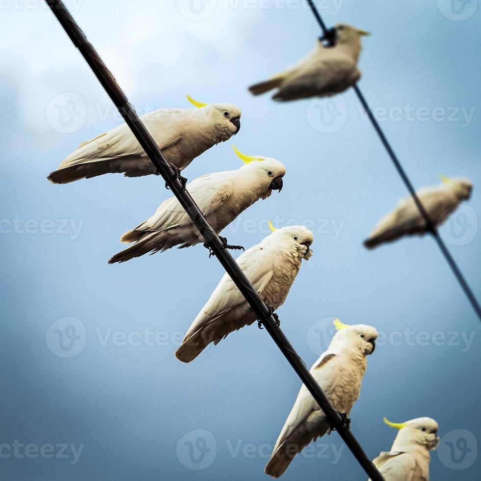 White Cockatoos on Telephone Wires photo