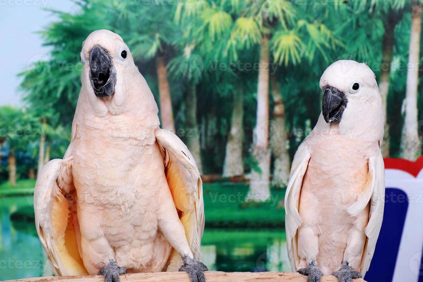 hermosos dos loros blancos foto