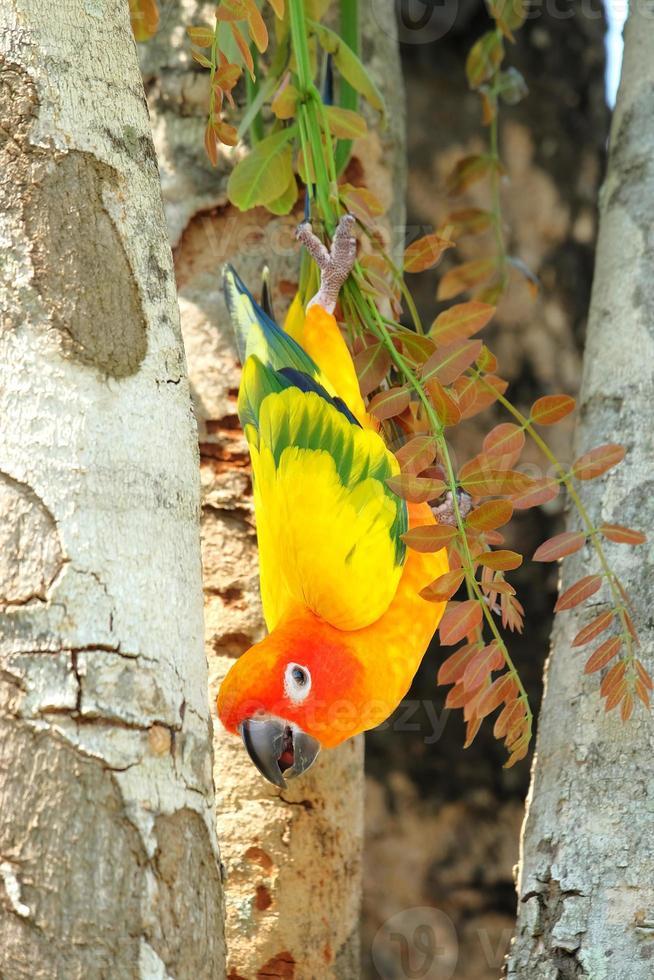 hermoso colorido loro conure sol en la naturaleza foto