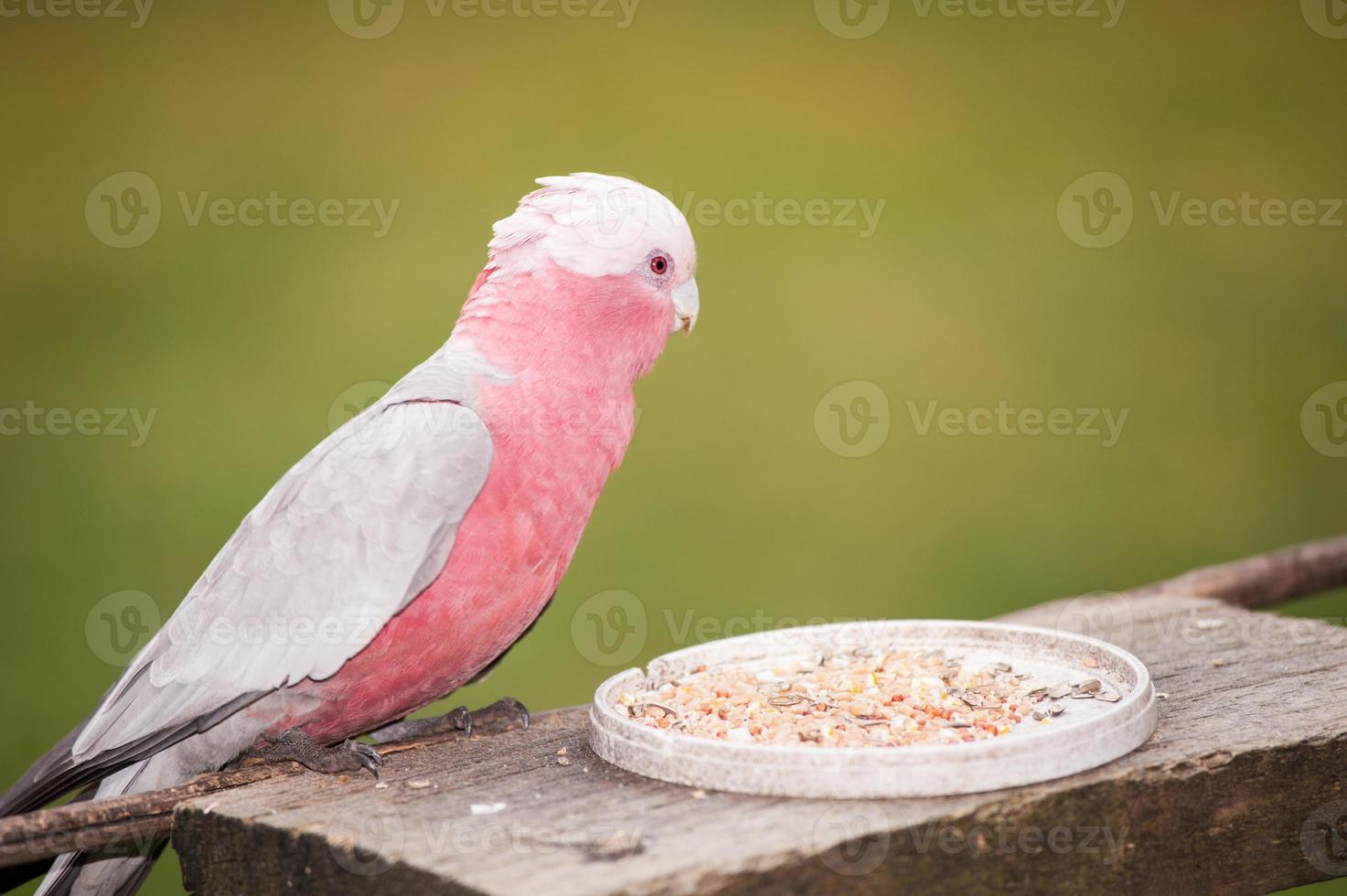 cacatúa australiana de pecho rosa foto