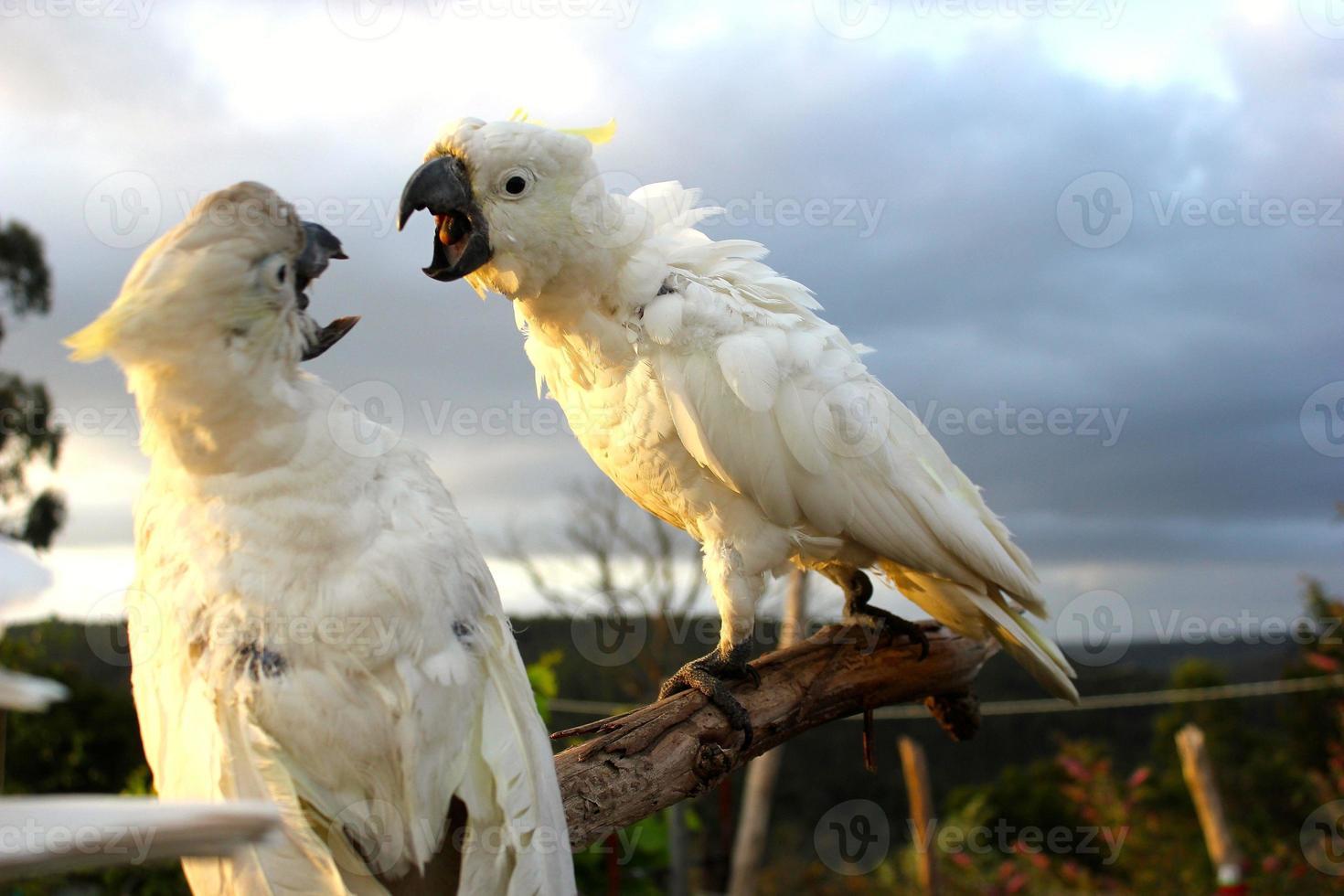 Sulphur-crested cockatoo photo