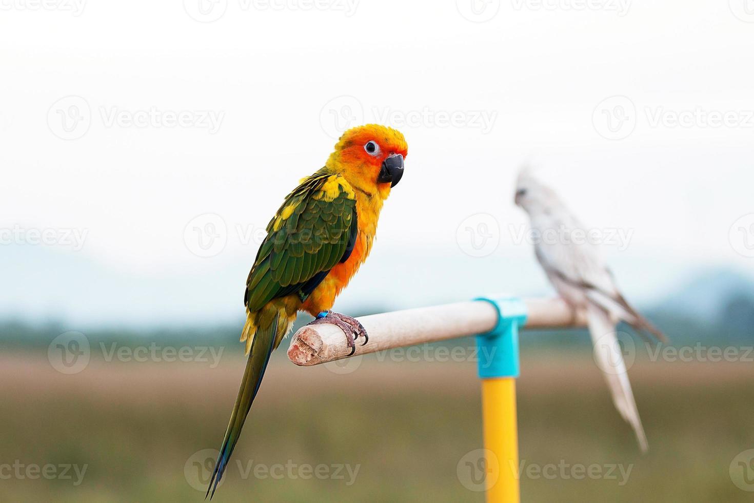 sol conure loro, pájaro foto