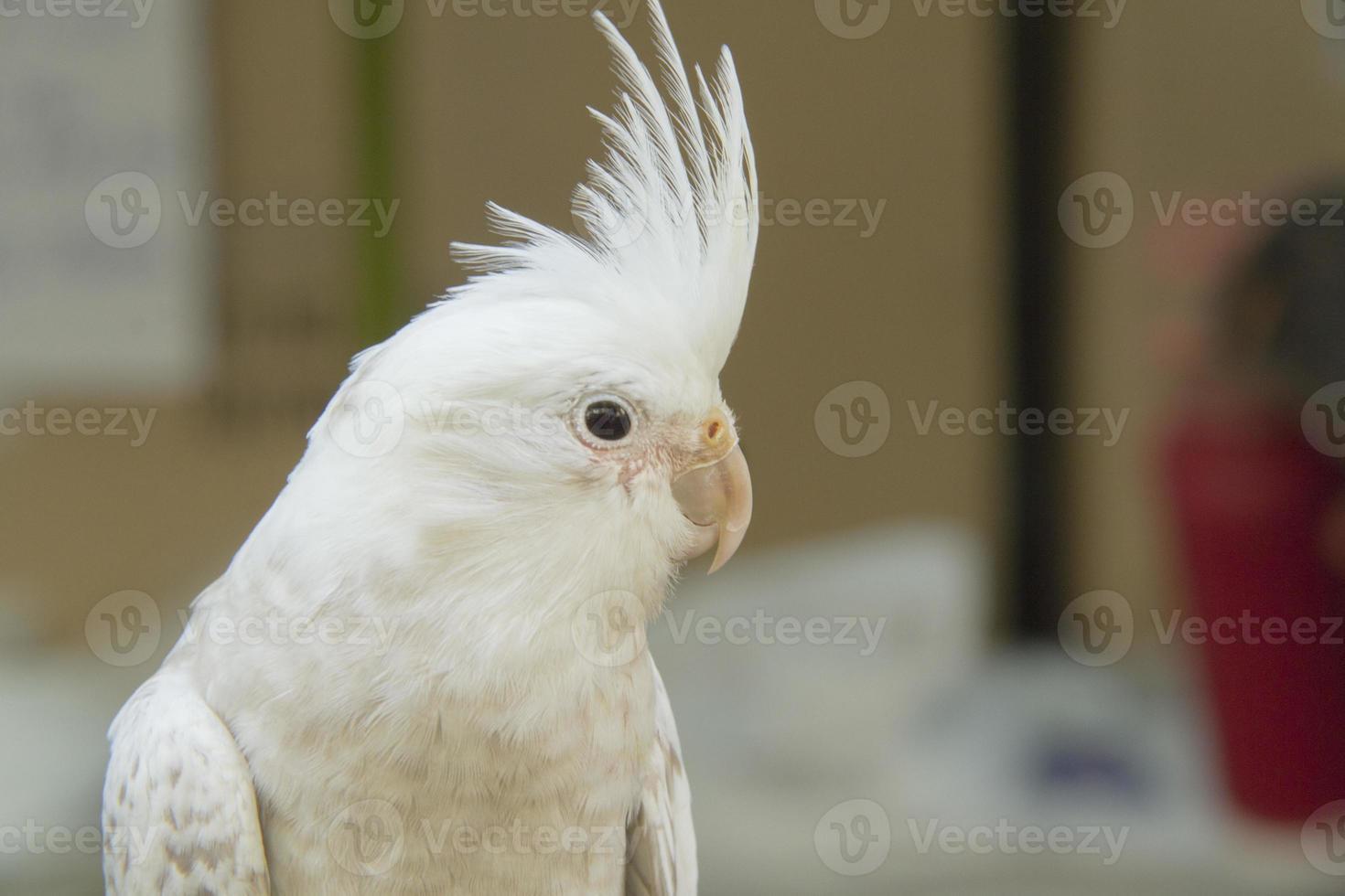 cacatúa blanca, color raro foto